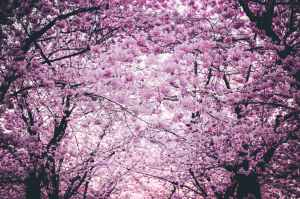pink flowers on trees