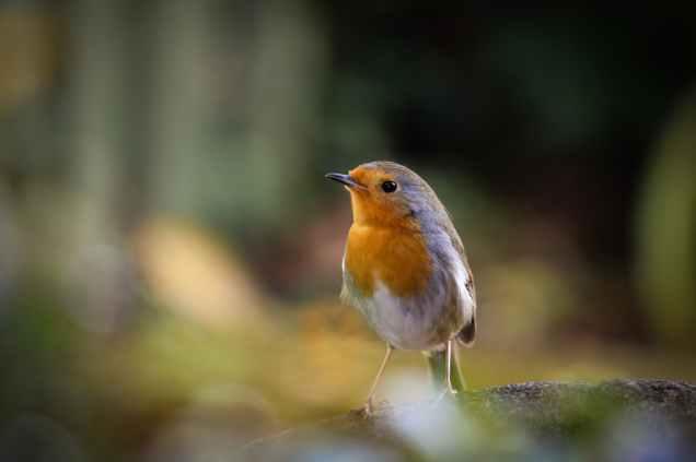 american robin animal avian bird